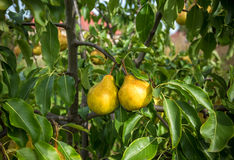 Fruit of pear tree stock photography