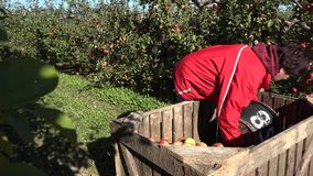 Fruit picker woman carry bucket with apples and put them in wooden box. 4K. Birzai, Lithuania - October 03, 2015: Fruit picker woman carry big bucket with stock video footage