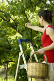 Fruit picking Stock Photo