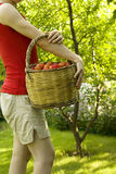 Fruit picking Royalty Free Stock Images