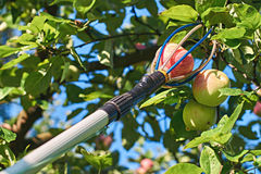 Fruit picking tool with an extension pole. Is used for harvesting apples Stock Photography