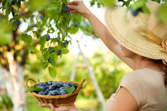 Fruit picking Royalty Free Stock Photos