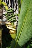 Fruit, plant and banana flower stock image