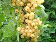 Fruit, Plant, Currant, Gooseberry stock image