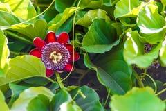 Fruit plant giant granadilla Royalty Free Stock Photos