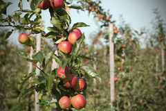 Fruit plantation (Apple) Royalty Free Stock Images