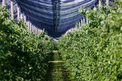 Orchard under the protective net, fruit plants in a row royalty free stock photo