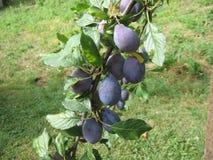 Fruit plum Stock Images