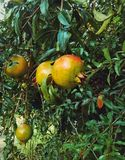 Fruit. A Pomegranate in the garden Stock Images