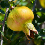 Fruit of pomegranate Royalty Free Stock Image