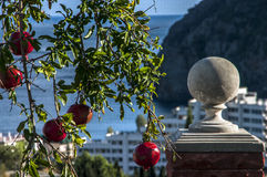 The fruit of a pomegranate in the seaside city. Of Crimea Royalty Free Stock Photos