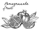 Fruit pomegranate set hand drawn vector illustration realistic sketch Royalty Free Stock Photography