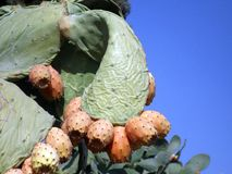 Fruit prickly pear. The fruit of a cactus Indian summer in Turkey Stock Photo