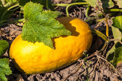 The fruit of pumpkin in the garden Royalty Free Stock Images