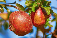 Fruit of Punica Granatum Royalty Free Stock Photos