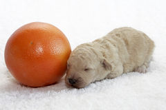 Fruit Pup. A little puppy sleeping close to a fruit Royalty Free Stock Photography