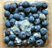 Fruit putréfié et moisi de myrtille photos libres de droits