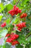 Fruit, récolte de chute et concept saisonniers de plante médicinale Photographie stock libre de droits