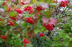 Fruit, récolte de chute et concept saisonniers de plante médicinale Image libre de droits