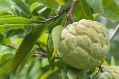 Fruit. Raw sugar apple green balls on the tree. The fruits are in season Royalty Free Stock Photography