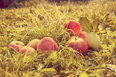 Fruit red apples on a grass. Retro toned Stock Image