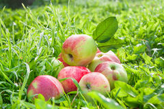 Fruit red apples on a  green grass Stock Images