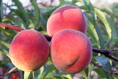 Fruit red peach on a branch of the tree Stock Photos