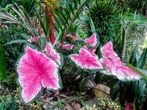 Fiji Fan Palm royalty free stock images