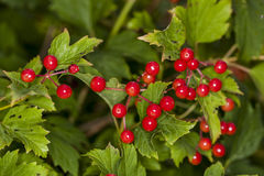 Fruit of red rowan tree. Fruit of red rowan, tree Royalty Free Stock Photography
