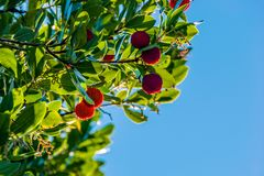 Fruit of the red strawberry tree. Between the leaves in the blue sky stock photography