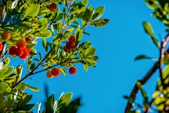 Fruit of the red strawberry tree. Between the leaves in the blue sky stock image