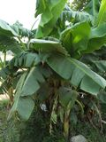 BANANA PLANT IS THE LARGEST HERBACEOUS FLOWERING PLANT ,EDIBLE FRUIT ,BOTANICALLY A BERRY ,GENUS ;MUSA stock photos