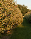 Fruit Ridge Hill Apple Tree Stock Photo