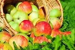 Fruit rijpe, rode, sappige appelen in mand op een groen gras Royalty-vrije Stock Afbeeldingen