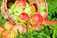 Fruit rijpe, rode, sappige appelen in mand op een groen gras Stock Fotografie