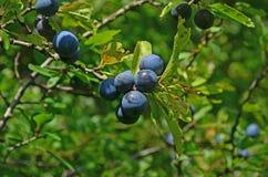Fruit. Ripe fruit on the bush Stock Photos