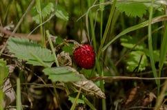 Fruit. Ripe fruit on the bush Stock Images