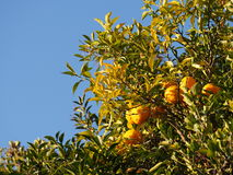 Fruit ripe mandarin orange trees Stock Photo