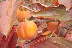 Fruit ripe persimmon tree Stock Photos
