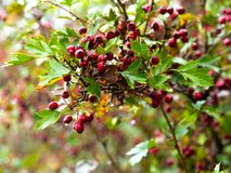 Ripe fruit of hawthorn in autumn day Royalty Free Stock Photos