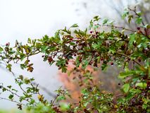 Ripe fruit of hawthorn in autumn day Royalty Free Stock Photography