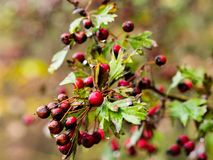Ripe fruit of hawthorn in autumn day Royalty Free Stock Image