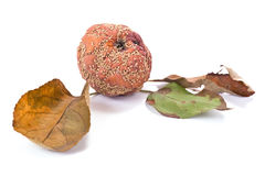 Fruit rot of apple Stock Image