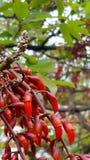Fruit rouge étrange Photographie stock