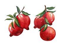 Fruit rouge d'aquarelle d'aspiration de main de branche de grenade sur le dos de blanc Photo libre de droits