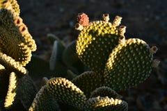 Fruit rouge de cactus le début de la matinée vert d'usine de cactus Image libre de droits