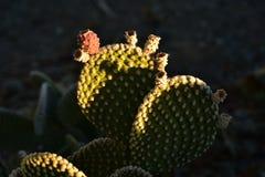 Fruit rouge de cactus le début de la matinée vert d'usine de cactus Photographie stock libre de droits