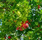 Fruit rouge de grenade sur l'arbre images libres de droits