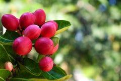 Fruit rouge de miracle sur l'arbre avec les feuilles vertes, d'isolement avec le fond brouillé image libre de droits