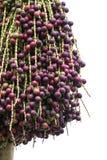 Fruit rouge de paume sur l'arbre Photos libres de droits